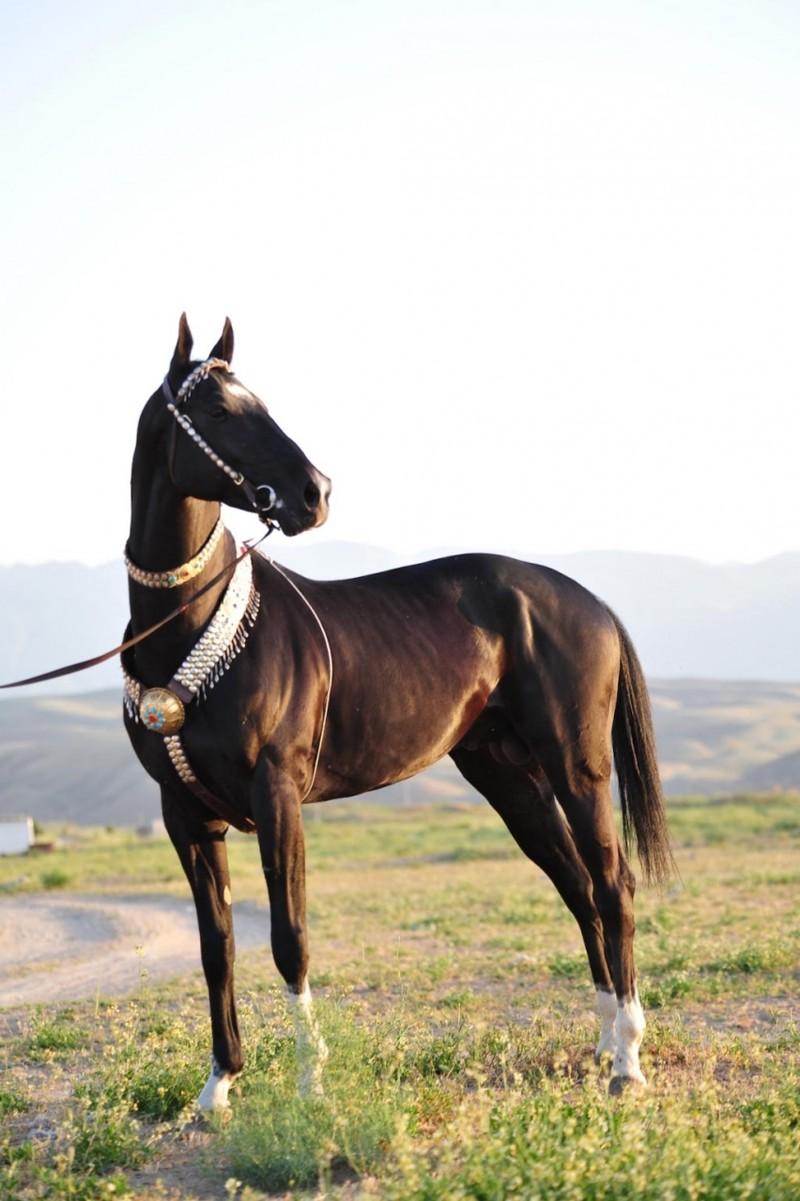 В Туркменистане проходит конкурс красоты среди ахалтекинских ...